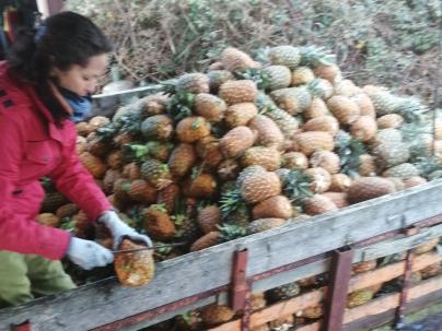 Ananas - Mouvipress, pressoir mobile de fruits en Bretagne, Pays de la Loire et Normandie